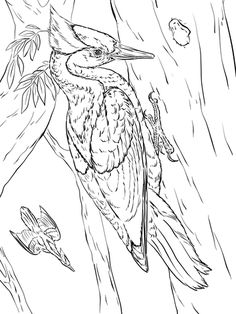 Ivory Billed Woodpeckers Coloring Page From Category Select 28356 Printable Crafts Of Cartoons Nature Animals Bible And Many More