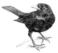 Image result for blackbird drawing