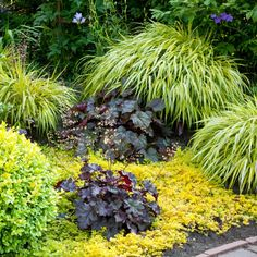 A graceful, colorful groundcover for shaded borders and container gardens. Slender stems holding bright yellow leaves with thin green stripes create a tiny bamboo-like effect. Foliage becomes pink-tinged as the weather cools in autumn. Herbaceous Perennials, Shade Perennials, Shade Plants, Perennial Plant, Shade Garden, Garden Plants, Monrovia Plants, Plant Catalogs, Ornamental Grasses
