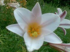 Iso kukkainen lilja puutarhassani