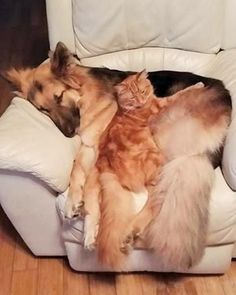 LOL, my big orange boy cat sleeps with my black GSD, Sadie. All the cats love Sadie and curl up with her.
