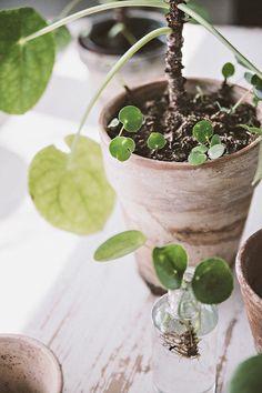 doftranka speciella teman bakker holland my secret garden pinterest v xter och blommor. Black Bedroom Furniture Sets. Home Design Ideas