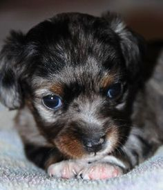 chiweenie+puppies | ... home dog breed dog diseases and symptoms dogs 2011 privacy policy