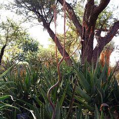 Powder aloe (Aloe pruinosa) blooming. #aloe #dbgflowers
