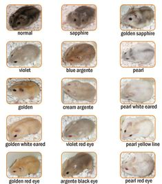 Robo Hamster Colors   Winter White Hamster   hamster malang   malang hamster   jenis hamster ... #dwarfhamstercare