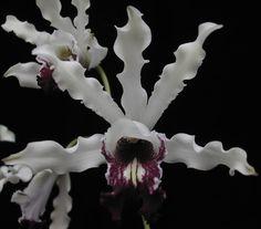 Myrmecophila albopurpurea