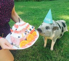 Treat your mini pig the right way on their birthday!  Try this easy and cool watermelon cake this summer on a hot day. It's a delicious treat the whole family can enjoy!
