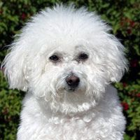 I just took a quiz about the best pet for me..... It's a sign! I've always said I love these little guys. Bichon Frise