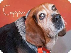 Pittsburgh, PA - Beagle. Meet COPPER a Dog for Adoption.
