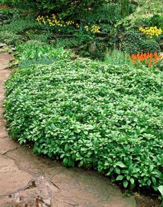plantes couvre sol persistantes: Pachysandra terminalis