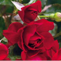 Double Red Simplicity® Hedge Rose from Wayside Gardens. Hedge roses bloom continuously spring through fall. I'll take a rose bush over a dozen short lived roses any day. Rose Hedge, Gardening Zones, Container Gardening, Types Of Roses, Gardening Magazines, Rose Bush, Garden Planning, Hedges, Have Time