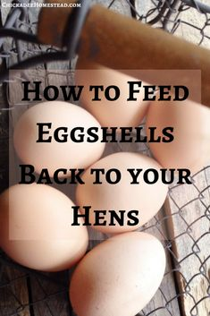 How to Feed Eggshells Back to Your Hens - Chickadee Homestead