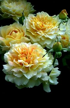 English Roses David Austin Roses 20 - Planting and Care if buying bare root. Remove a couple of the previous canes at the bottom of established climbers to stimulate new growth. All Flowers, Pretty Flowers, Beautiful Roses, Beautiful Gardens, Yellow Roses, Red Roses, Roses David Austin, David Rose, Austin Rosen