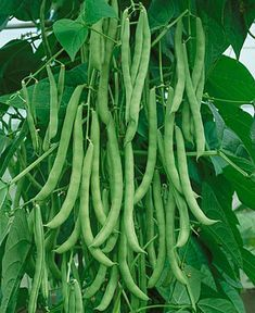 Outstanding Grow Like A Pro With These Organic Gardening Tips Ideas. All Time Best Grow Like A Pro With These Organic Gardening Tips Ideas. Growing Green Beans, Growing Greens, Organic Gardening, Gardening Tips, Kitchen Gardening, Gardening Services, Gardening Quotes, Plantas Bonsai, Bean Plant