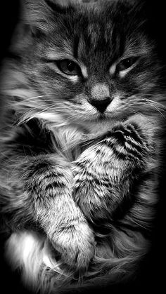 oanell63:  (via Pin by Angelique Harper on Cats :) | Pinterest)