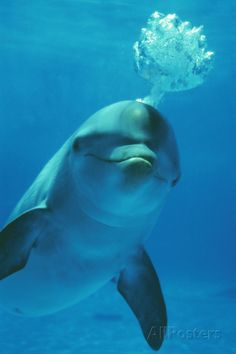Bottlenose Dolphin Blows Bubbles from Blow Hole Photographic Print at AllPosters.com