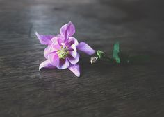 Aquilegia flower on wooden table. by Creating_Is_Happiness on Creative Market