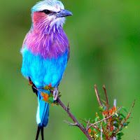 Coracias Caudatus - a very beautiful & colorful little bird. Description from pinterest.com. I searched for this on bing.com/images