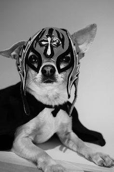 Chihuahua #dogs #animal #chihuahua