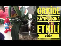 ORKİDE KAYBI YAŞAMAYA SON👍💯   Orkide Doğru Sulama Yöntemi   Orkide Kurtarma #1 - YouTube Youtube, Youtubers, Youtube Movies