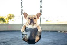 Why are French Bulldogs so darn cute?
