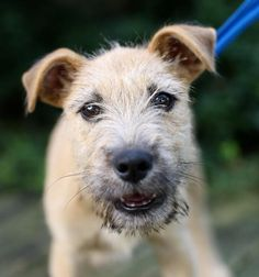 Meet Be My Baby, an adoptable Wheaten Terrier looking for a forever home. If you're looking for a new pet to adopt or want information on how to get involved with adoptable pets, Petfinder.com is a great resource.