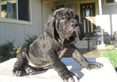 Neapolitan Mastiff..can't wait til I can get oneeee:).