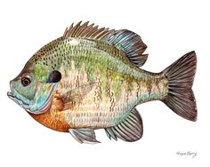 Beautiful Bluegill Drawing - Bluegill Sunfish Freshwater Fish Print By By Theberrypress Wisconsin Fish Drawings Flashcards By Aquaponics Fish Fish Giclee Print Blue Gill Sun .