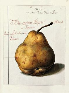 Johann Prokop Mayer    Sketch of a Pear    18th century