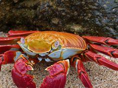 crab, granchio, sea, creature marine, acqua, mare, sea creatures, marine creatures, abissi, abiss, wonderful, beautiful, colori, colour