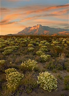 Peppergrass (Lepidium sp) in bloom with El Capitan in distance, Guadalupe Mountains National Park, Texas