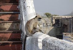Photo about A young grey langur monkey sits on a roof top railing surveying the scene below. Large brow black face grey body and long tail. Image of eyes, calmness, long - 69520351 Roof Top, Monkeys, Brows, Scene, Stock Photos, Face, Eyebrows, Rompers