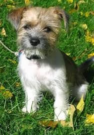 Image result for scottish wire fox terrier mix