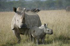 Rinoceronte blanco     El mamífero terrestre de mayor tamaño después del elefante, aunque es mucho más pacifico que el rinoceronte negro. no carga fácilmente y pelea sólo en época de apareamiento. es también más sociable y pueden hallarse pequeñas grupos compuestos por 4 – 5 animales  se alimenta a base de hierba y se mueve lentamente, utilizando siempre los mismos senderos.  posee escasa vista, aunque tiene un oído finísimo.