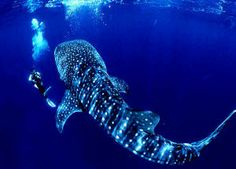 The Whale Shark...the largest fish in the world.  Known as being the gentlest of the sharks.  They have 3,000 teeth, but eat plankton and they like warm waters.  Imagine swimming with such a beautiful and HUGE creature like this. Amazing.