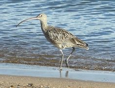 Eastern curlews are the largest migratory shorebirds that visit the Mackay coast.  They travel approximately 10,000km on their migration route, and visit Mackay beaches over summer to feed and rest. by Mackay Region Natural Environment, via Flickr