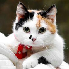 Pretty Cats, Beautiful Cats, Animals Beautiful, Cute Animals, Cute Cats And Kittens, Baby Cats, Kittens Cutest, Gato Calico, Calico Cats