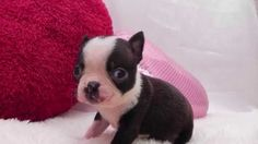 【ヤバイ!キュン死する】萌え〜♪超かわいい♪ボストンテリアの赤ちゃん(Cute puppy /귀여운 강아지 / chiot mignon / ...