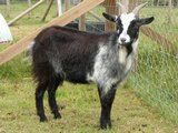 *SOLD* Bess is a pygmy - £80 each - Listed by Sell it socially     GLDI9097    has been published on Sell it Socially