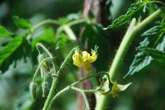 flor do tomateiro
