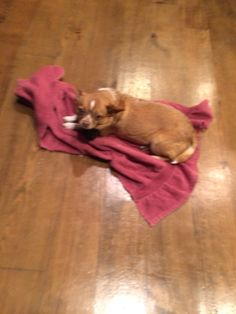 ChiChi was wet and cold so I gave her a really warm blanket because she is the queen of the dogs!