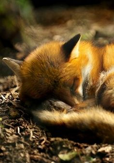 Great photography of a sleeping cub. - Scenes like this aren't uncommon in the right places in Northumberland.