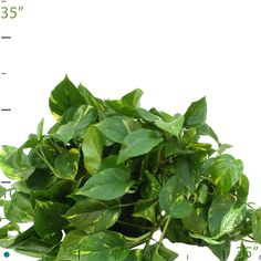 Pothos Best Indoor Plants, Pretty Green, Air Pollution, Tropical Plants, Houseplants, Plant Leaves, Horse, Lovers, Garden