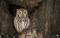 An Eastern Screech Owl keeps an eye out at its nest hole in Laval, Québec, Canada. Photo thanks to Marie-Claude Paquette Photographie. More of these birds here --> http://owlpag.es/EasternScreechOwl