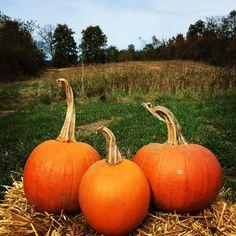 Three's Company  #pumpkins #couldntpickjustone #pumpkinfamily #pumpkinpatch #pumpkin #pumpkinspice #fall #autumn #pumpkinrdn #onceuponapumpkin