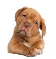Ten-week-old Bordeaux pup