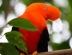 beautiful rare birds Andean Cock-of-the-Rock