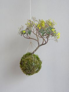 kokedama with succulent