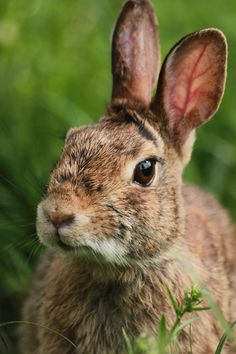 In the event you are searching for a furry companion which is not only adorable, but easy to keep, then look no further than a pet bunny. Wild Rabbit, Pet Rabbit, Funny Rabbit, Rabbit Pictures, Animal Pictures, Wildlife Photography, Animal Photography, Beautiful Creatures, Animals Beautiful
