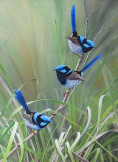 The Wildlife Art of Rodger Scott - Superb Blue Fairy Wrens (common in Canberra) Cute Birds, Pretty Birds, Beautiful Birds, Animals Beautiful, Cute Animals, Exotic Birds, Colorful Birds, Bird Drawings, Horse Drawings